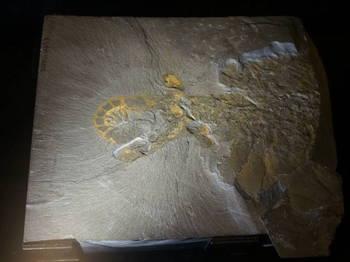 アロマノカリス(化石).JPG