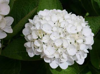 ホワイトダイアモンド.JPG