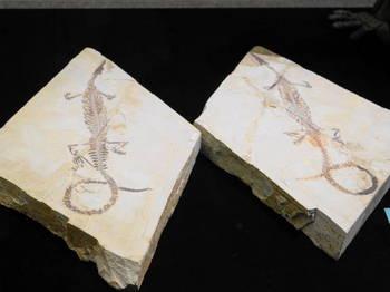 メソサウルス化石.JPG